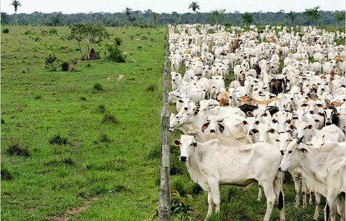 Amazonia brasileña: el reino del ganado