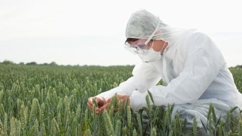 Los cultivos transgénicos pierden terreno por primera vez en su historia